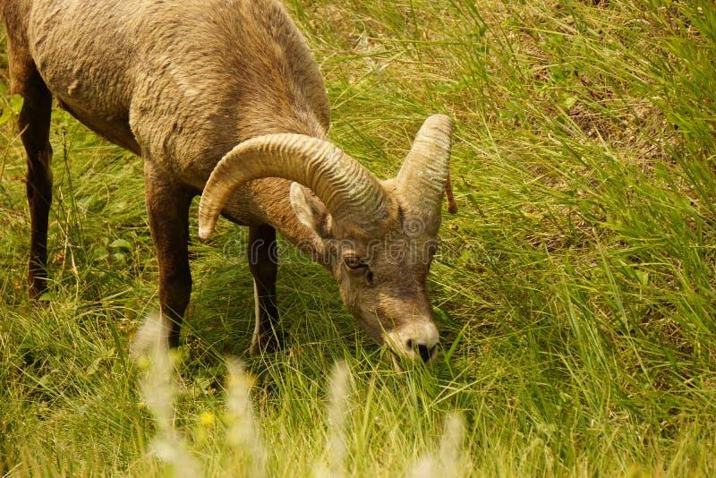 Um Ram do Big Horn fotos de stock royalty free