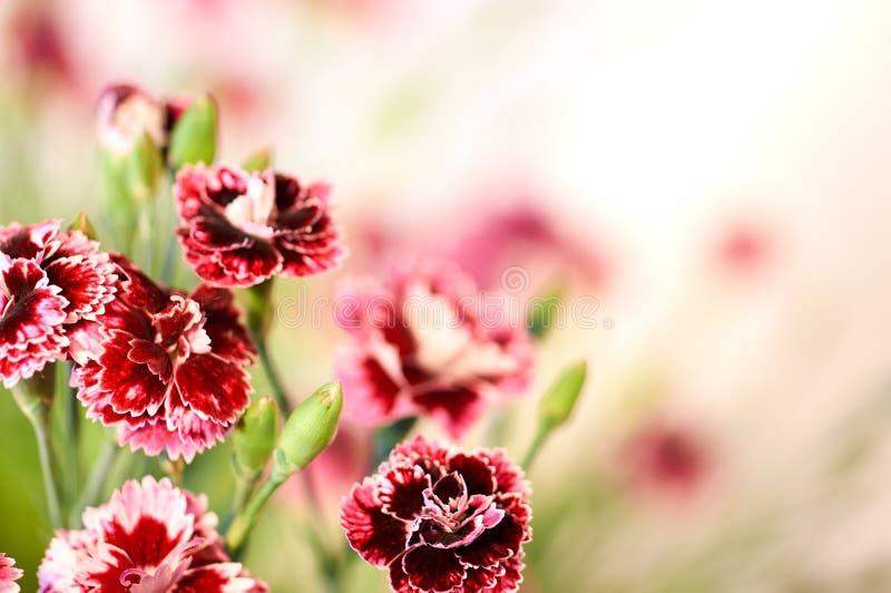 Um ramalhete bonito, perfumado de cravos roxos imagem de stock