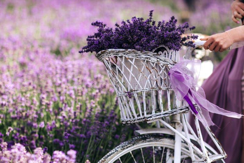Um ramalhete da alfazema em uma cesta em uma bicicleta em um campo da alfazema uma menina que guarda um velispette sem imagens de stock