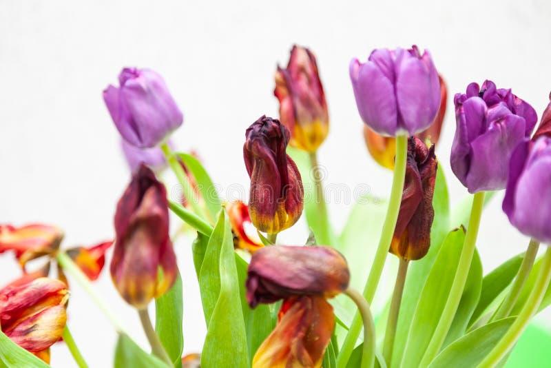 Um ramalhete da opinião murchada do close-up das tulipas de vermelho e de roxo com folhas verdes em um fundo branco foto de stock royalty free