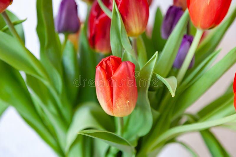 Um ramalhete da opini?o do close-up das tulipas de vermelho e de roxo com folhas verdes em um fundo branco foto de stock royalty free