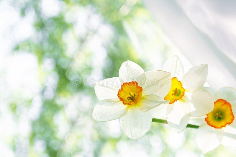 Um ramalhete das flores brancas dos suportes brancos do close-up dos narcisos amarelos em uma janela em um fundo borrado do verde foto de stock royalty free