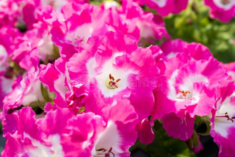 Um ramalhete de flores do petúnia das flores fotos de stock