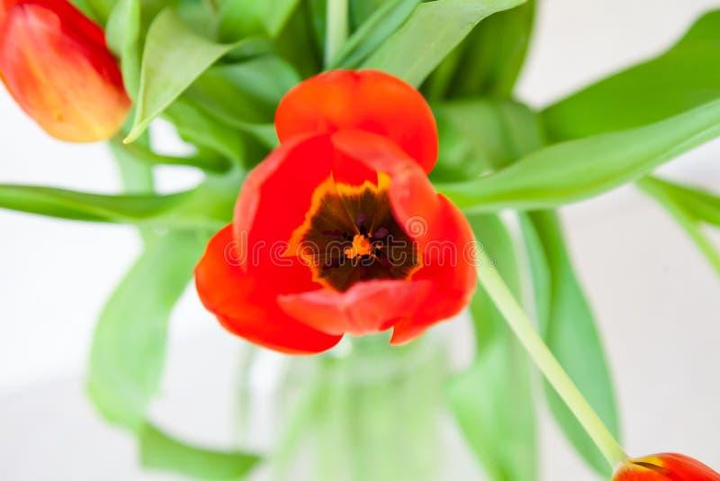 Um ramalhete de uma opinião superior do close-up da tulipa de vermelho e de roxo com folhas verdes em um fundo branco fotografia de stock royalty free