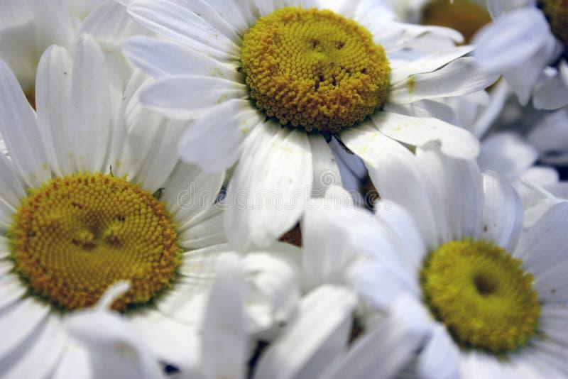 Um ramalhete do close-up das flores da margarida na luz do dia com foco seletivo imagens de stock