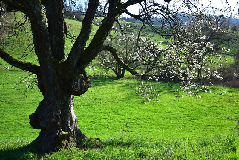Um ramo branco-florescido de uma árvore na primavera adiantada no Odenwald, Alemanha fotografia de stock royalty free