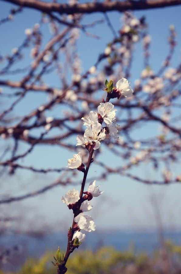 Um ramo com flores brancas imagem de stock royalty free