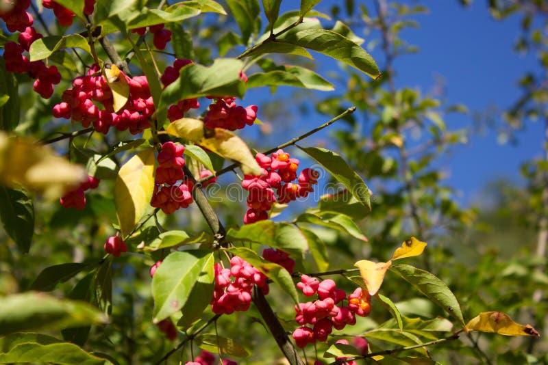 Um ramo com frutos e sementes do europaeus do Euonymus fotos de stock