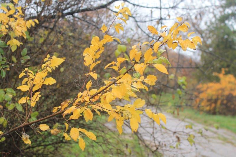 Um ramo completamente das folhas amarelas imagem de stock royalty free