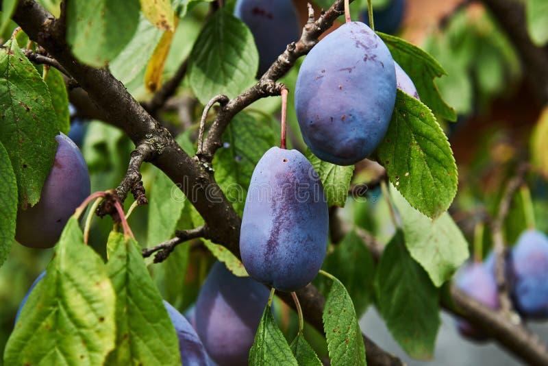 Um ramo da árvore de ameixa com frutos fotos de stock