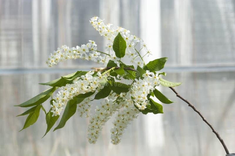 Um ramo da flor da árvore de cereja do pássaro fotografia de stock royalty free