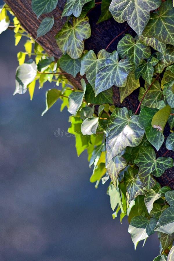 Um ramo da hera que adere-se a uma árvore na perspectiva do céu azul imagem de stock