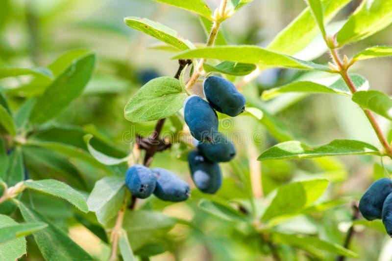 Um ramo da madressilva com as bagas azuis maduras foto de stock royalty free