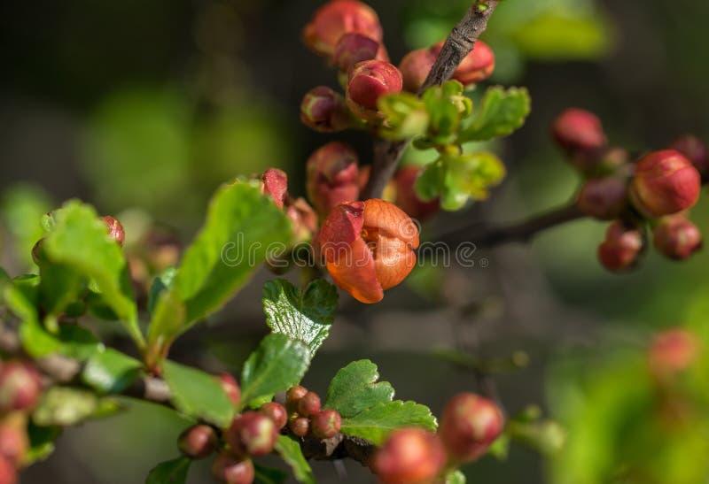 Um ramo da zidônia com botões florescentes num dia de primavera ensolarado imagens de stock