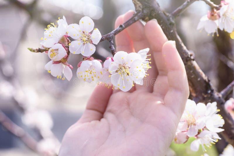 Um ramo das flores de cerejeira à disposição Abricó de florescência em um dia ensolarado, mão que guarda as flores de cerejeira n foto de stock royalty free