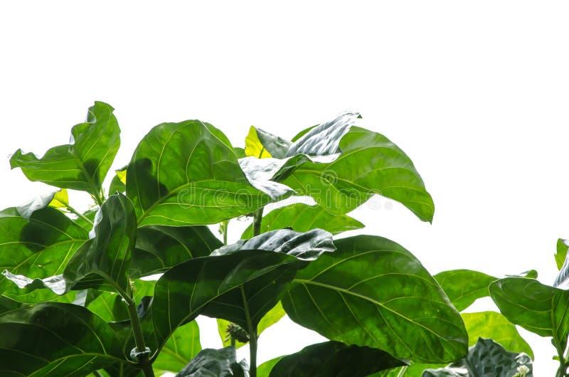 Um ramo das folhas verdes do noni de Tahitian isoladas no fundo branco imagem de stock royalty free
