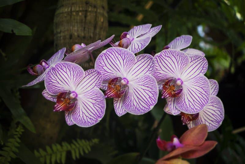 Um ramo das orquídeas com flores brancas e de listras roxas nas folhas fotografia de stock