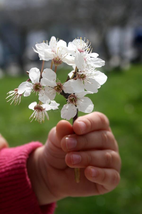 Um ramo de árvore bloming nas mãos da menina Primeiras flores da mola fotos de stock royalty free
