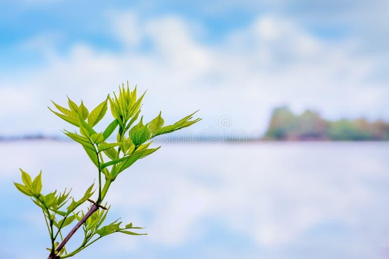 Um ramo de árvore com as folhas verdes delicadas no fundo do rio e céu com as nuvens na luz macia - tones_ azul imagem de stock