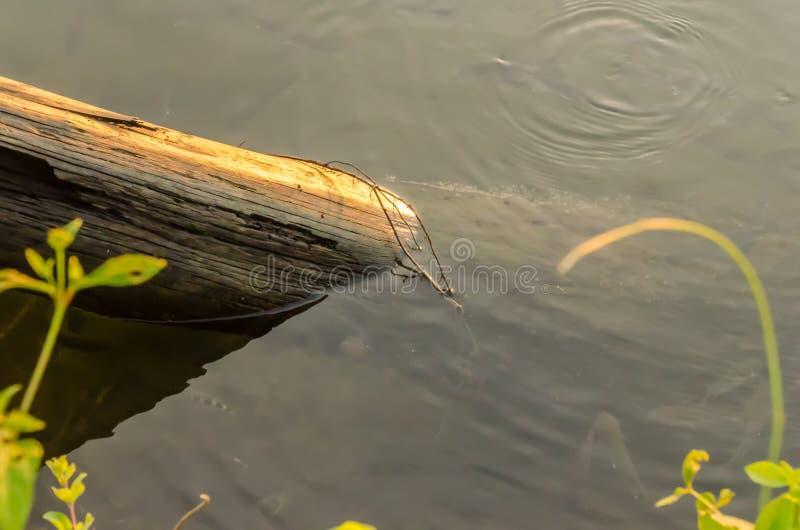 Um ramo de árvore na água foto de stock