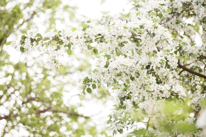 Um ramo de árvores de maçã é coberto com as flores brancas de florescência fotografia de stock royalty free