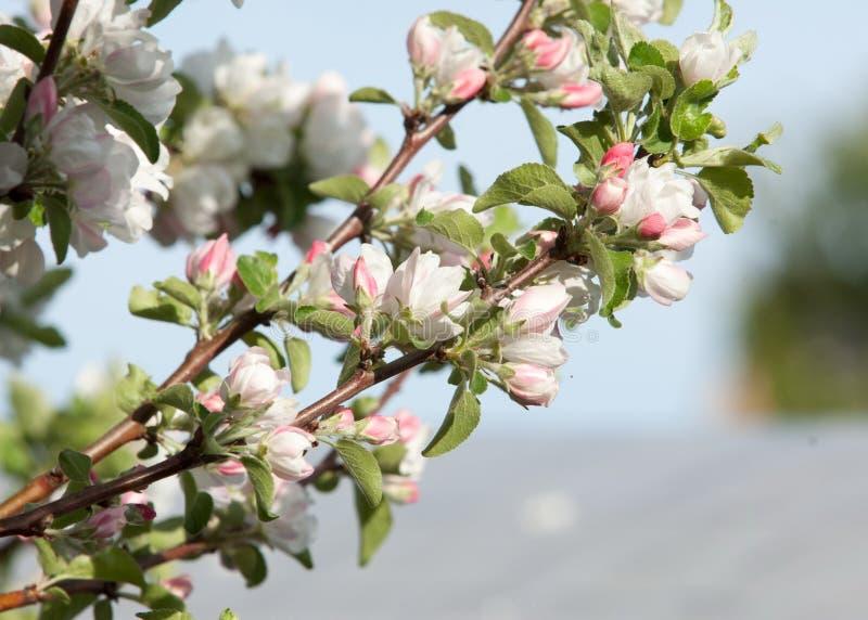 Um ramo de florescência da árvore de maçã na mola foto da refeição matinal de florescência da árvore com as flores brancas no fun imagem de stock royalty free