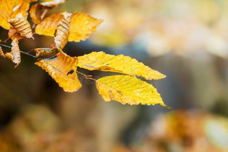 Um ramo de um hornbeam com as folhas amarelas na floresta do outono no tones_ amarelo-marrom morno agradável imagens de stock