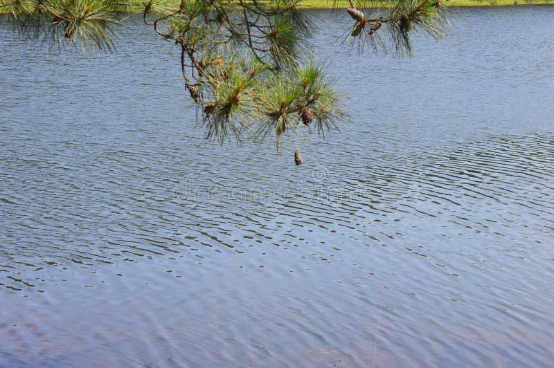 Um ramo de pinheiro com um único Pinecone que oscila sobre a água Rippling imagens de stock royalty free