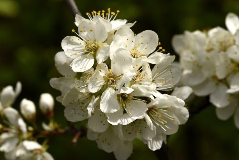 Um ramo de uma ameixa de floresc?ncia fotografia de stock royalty free
