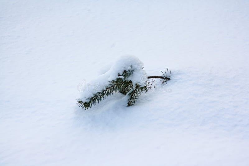 Um ramo do abeto vermelho cola para fora de debaixo da neve imagens de stock