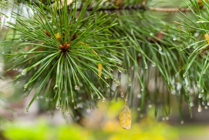 Um ramo do pinho no outono fotografia de stock