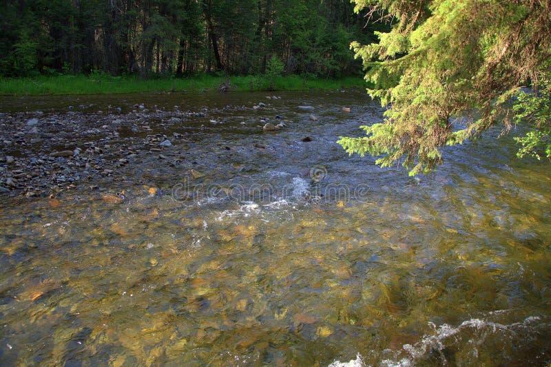 Um ramo do pinho que inclina-se sobre o córrego do rio Sema da montanha Altai, Sib?ria, R?ssia Paisagem fotografia de stock