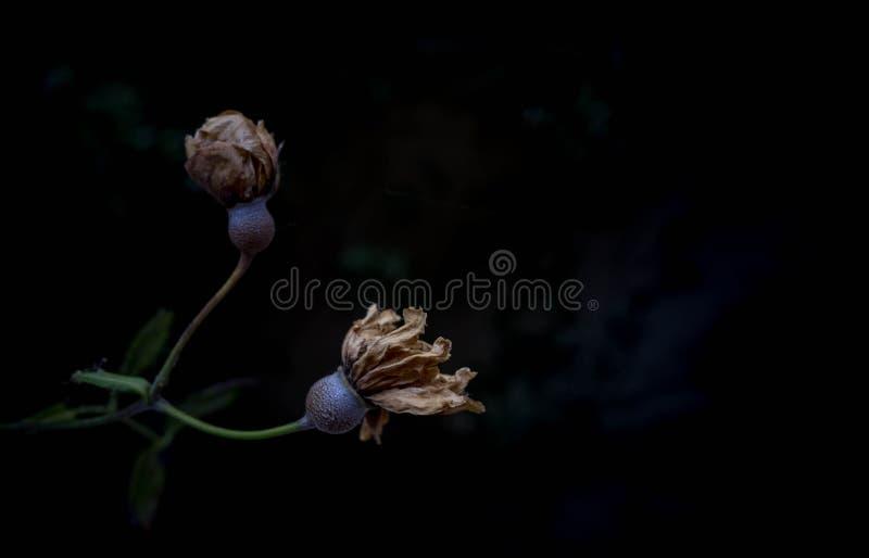 Um ramo sere de compressão da flor com fundo escuro foto de stock