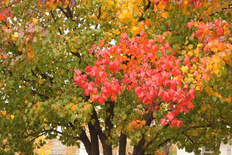 Um ramo vermelho brilhante contra a árvore verde como as folhas começa girar no outono foto de stock