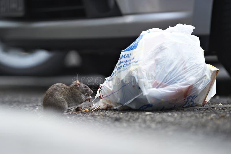 Um rato que come de um saco de lixo fotografia de stock