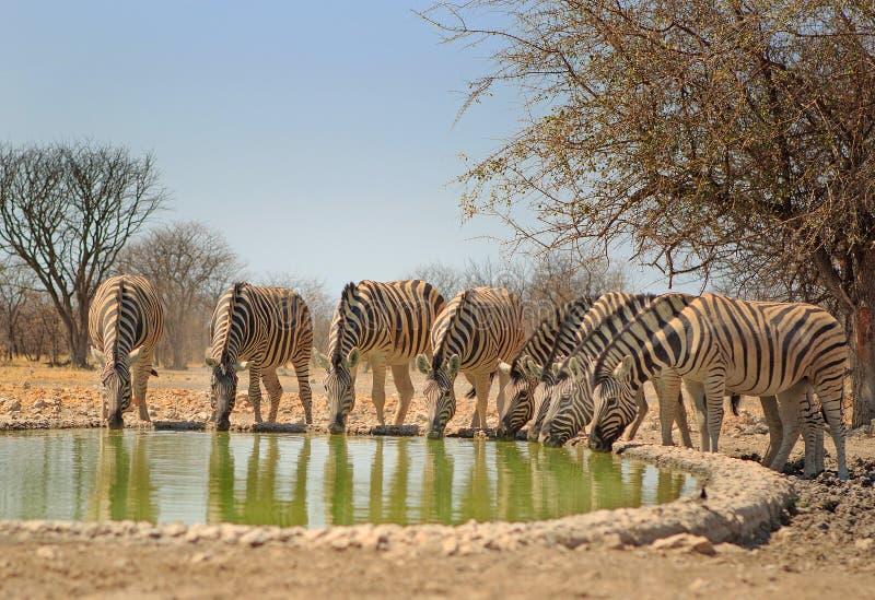 Um rebanho da bebida da zebra de um waterhole do acampamento em Etosha foto de stock
