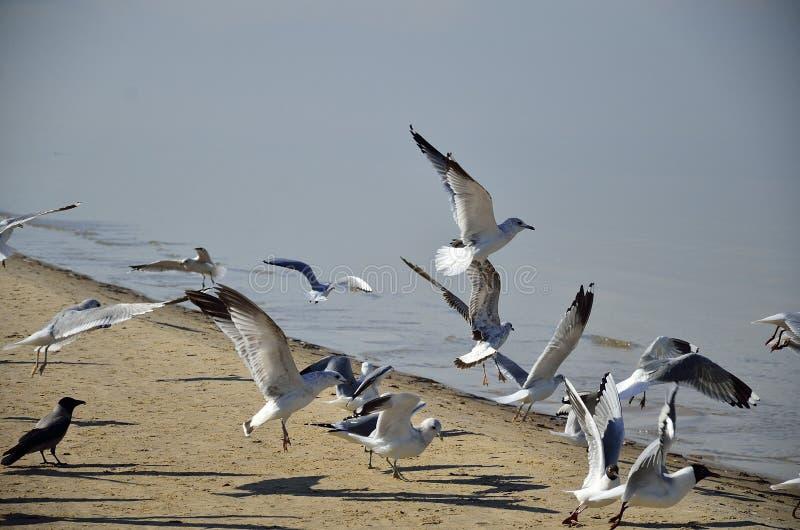 Um rebanho das gaivotas, Yurmala, Letónia foto de stock