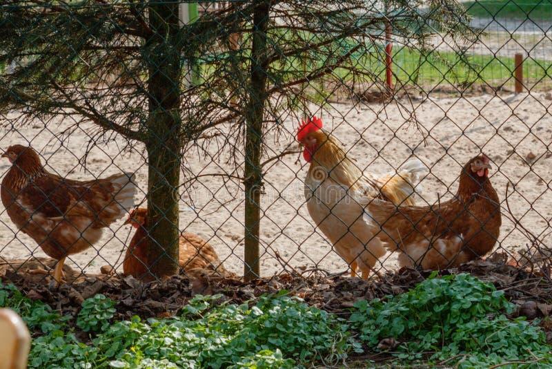 Um rebanho das galinhas vagueia livremente fotografia de stock