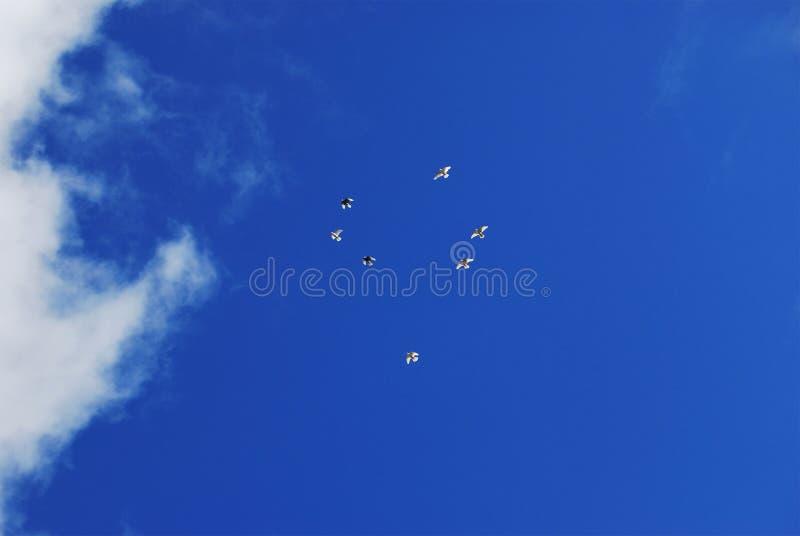 Um rebanho das pombas brancas em um céu azul imagens de stock