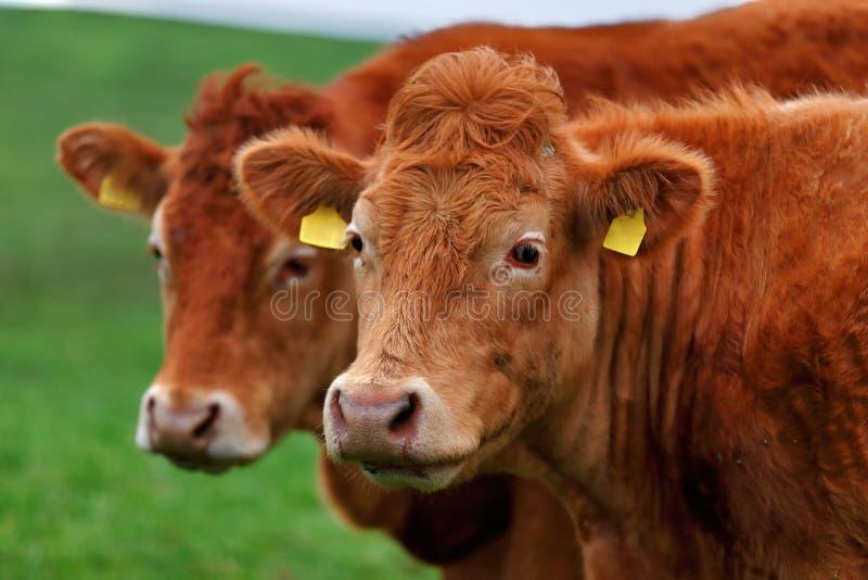 Um rebanho das vacas na pista do prado no oeste da Irlanda fotografia de stock royalty free