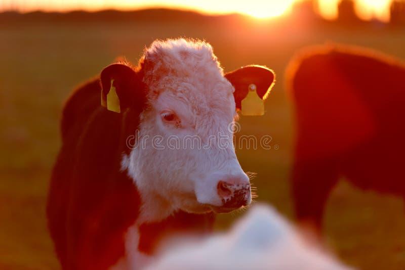Um rebanho das vacas na pista do prado no oeste da Irlanda imagem de stock