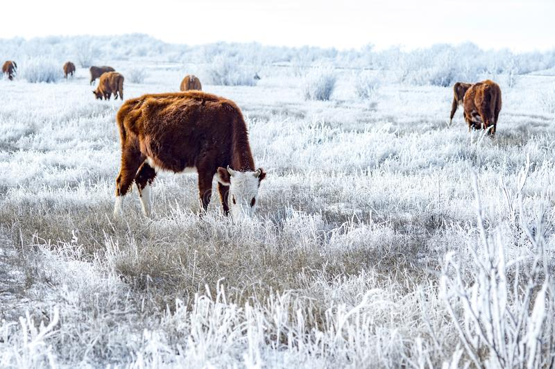 Um rebanho das vacas no estepe Kalmyk no inverno Toda a vegetação coberta com uma camada grossa de geada imagem de stock royalty free