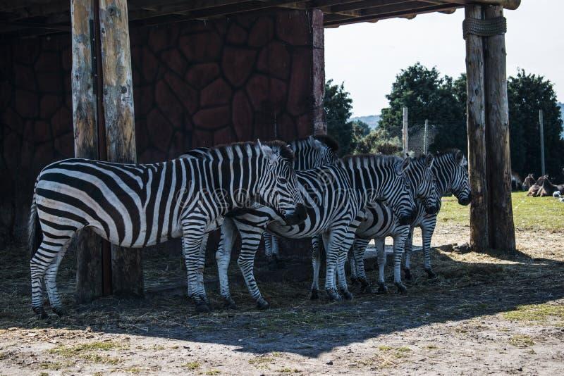 Um rebanho das zebras próximos um do outro foto de stock