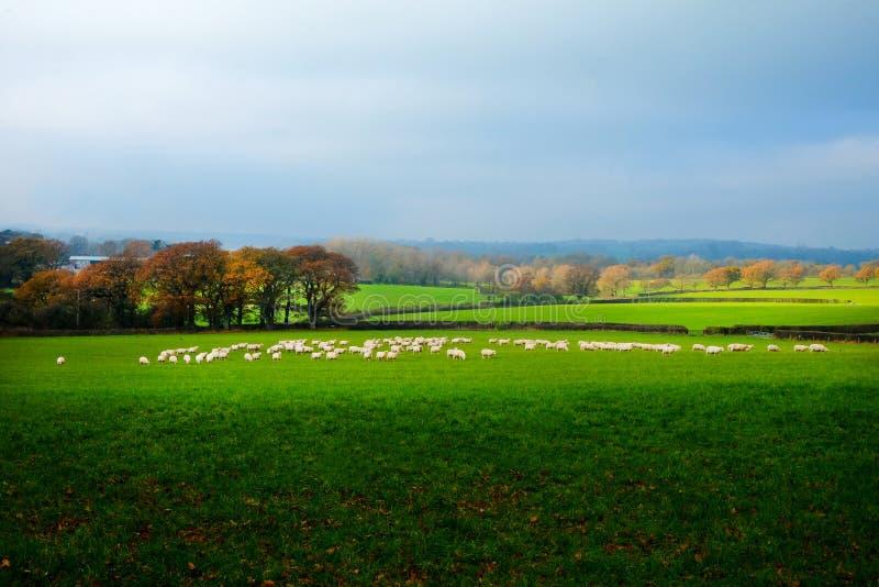 Um rebanho de aproximadamente sessenta carneiros em um campo no campo de Sussex, Reino Unido foto de stock royalty free
