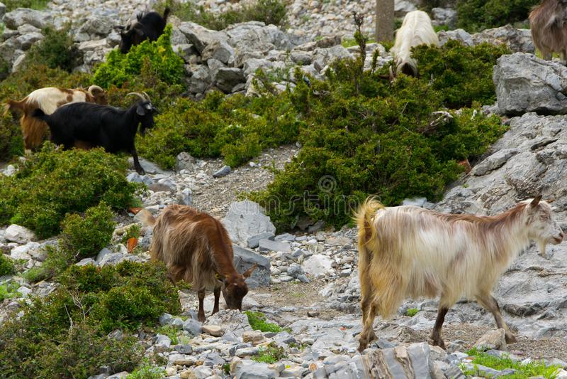 Um rebanho de cabras de montanha pasta livremente Cumes de Alb?nia imagem de stock