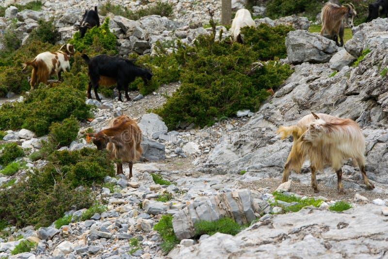 Um rebanho de cabras de montanha pasta livremente Cumes de Alb?nia fotos de stock