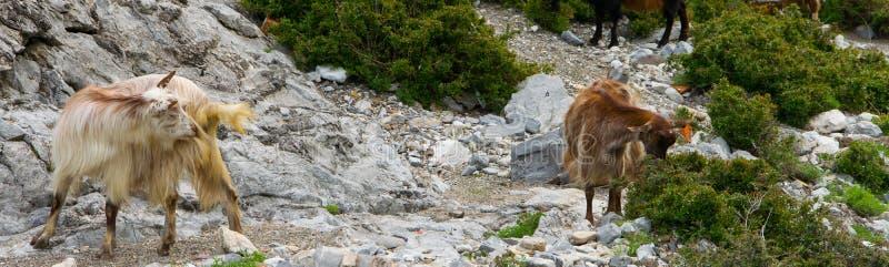 Um rebanho de cabras de montanha pasta livremente Cumes de Alb?nia fotografia de stock