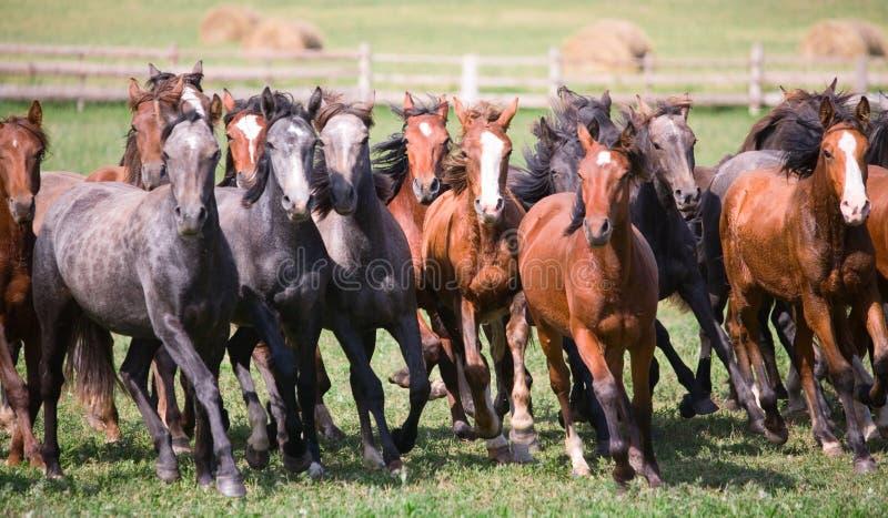 Um rebanho de cavalos novos fotos de stock