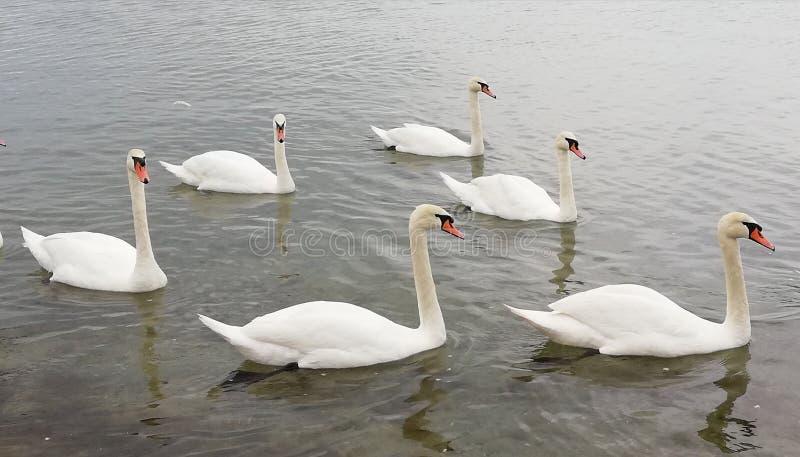 Um rebanho de cisnes bonitas é refletido na superfície calma do mar Fundo bonito sereno de acalmação fotografia de stock royalty free