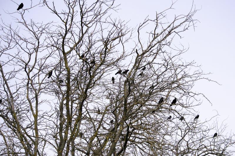 Um rebanho de corvos pretos senta-se nos ramos da acácia fotografia de stock